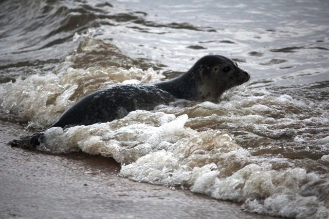 Zeehond die afgelopen week aan land kwam bij Helios. Foto: Yvonne Diesbergen